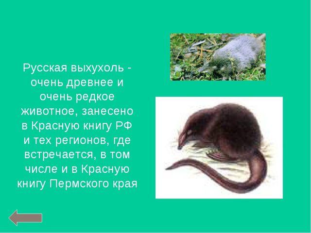 Русская выхухоль - очень древнее и очень редкое животное, занесено в Красную...
