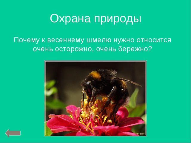 Охрана природы Почему к весеннему шмелю нужно относится очень осторожно, очен...