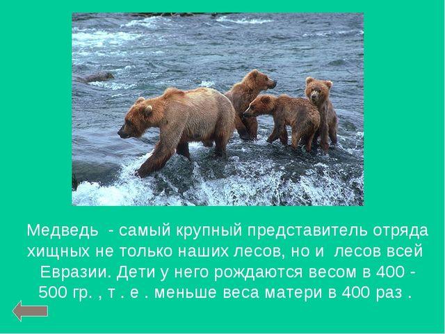 Медведь - самый крупный представитель отряда хищных не только наших лесов, но...