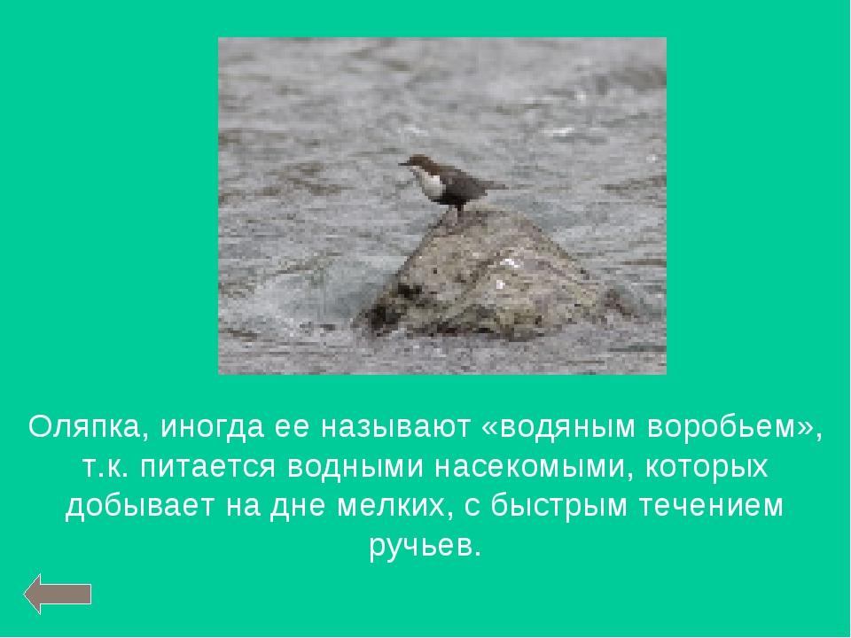 Оляпка, иногда ее называют «водяным воробьем», т.к. питается водными насекомы...