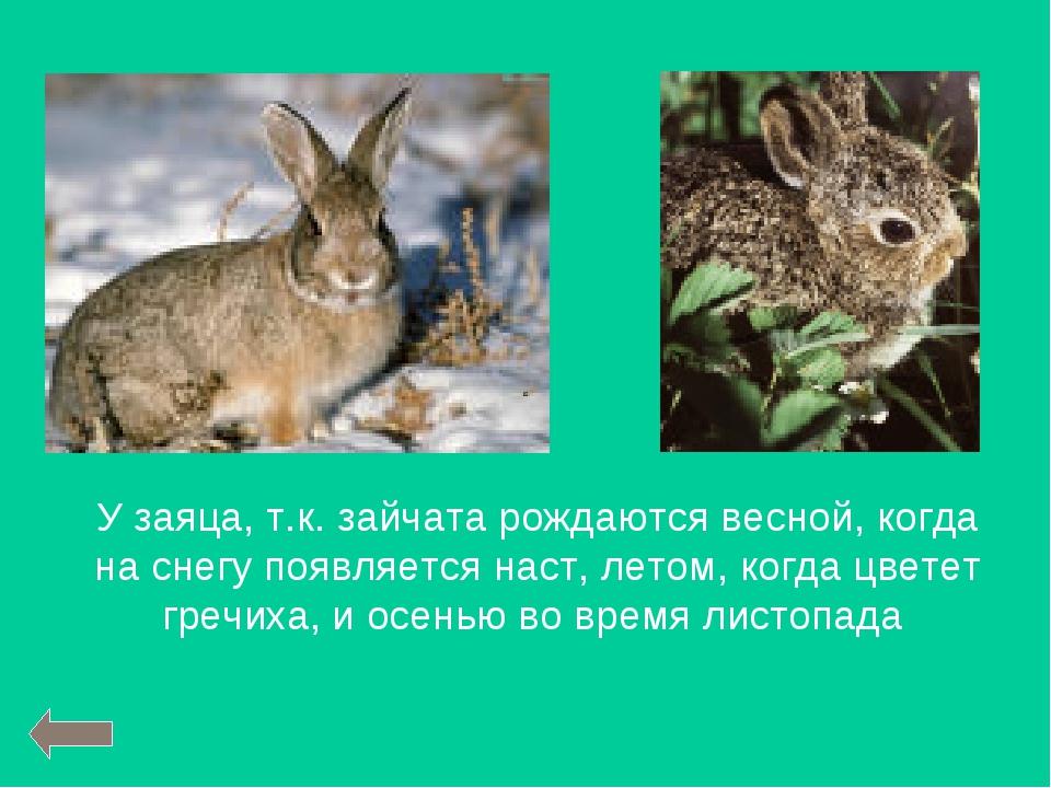 У заяца, т.к. зайчата рождаются весной, когда на снегу появляется наст, летом...