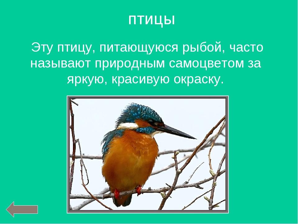Эту птицу, питающуюся рыбой, часто называют природным самоцветом за яркую, к...