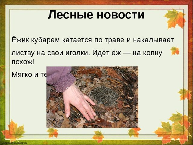 Лесные новости Ёжик кубарем катается по траве и накалывает листву на свои иго...