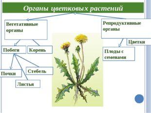 Органы цветковых растений Побеги Цветки Листья Плоды с семенами Корень Репрод