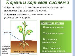 Корень и корневая система Корень – орган, с помощью которого растение питаетс
