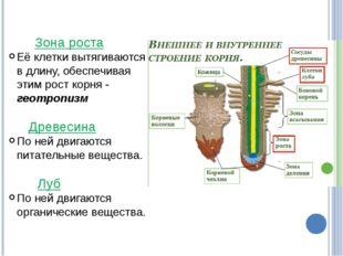 Зона роста Её клетки вытягиваются в длину, обеспечивая этим рост корня - гео