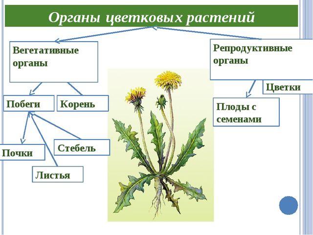 Органы цветковых растений Побеги Цветки Листья Плоды с семенами Корень Репрод...