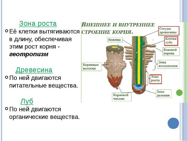 Зона роста Её клетки вытягиваются в длину, обеспечивая этим рост корня - гео...