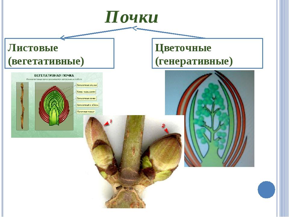 Почки Листовые (вегетативные) Цветочные (генеративные)