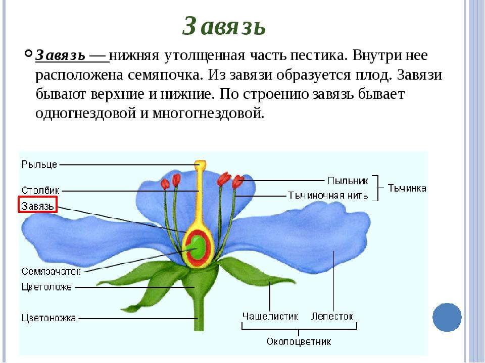 Завязь Завязь — нижняя утолщенная часть пестика. Внутри нее расположена семяп...