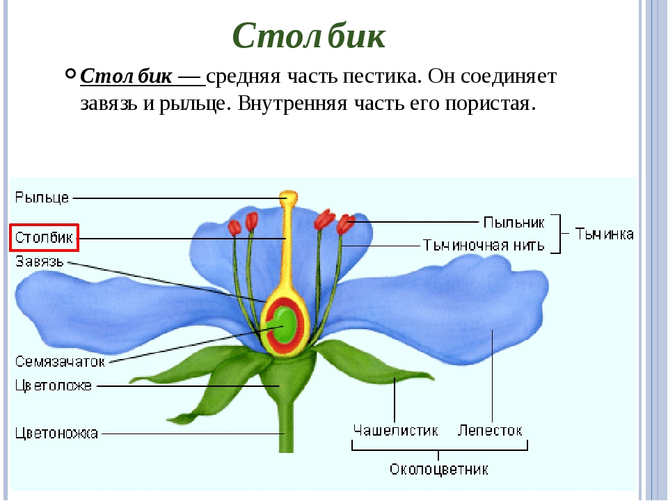 Столбик Столбик — средняя часть пестика. Он соединяет завязь и рыльце. Внутре...