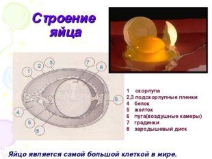 Строение яйца 1 2 3 7 8 6 5 5 4 1 скорлупа 2,3 подскорлупные пленки белок жел