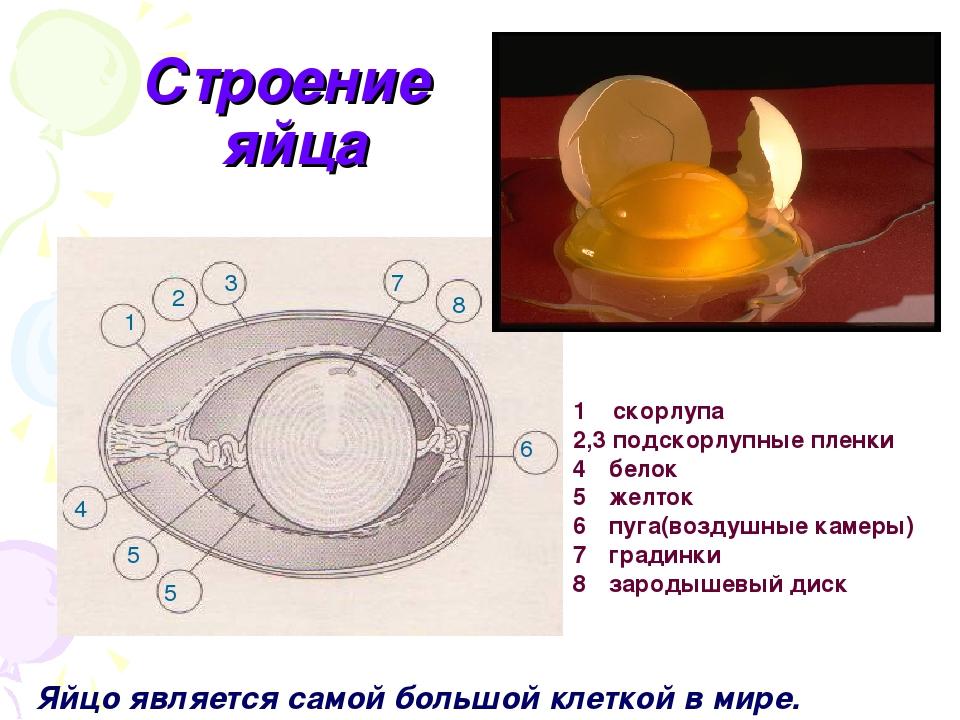 Строение скорлупы