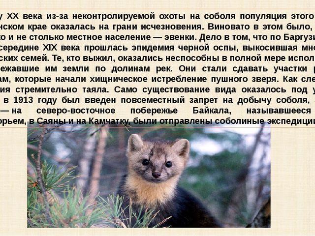 К началу XX века из-за неконтролируемой охоты на соболя популяция этого вида...