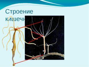 Строение кишечнополостных ротовое отверстие щупальца подошва Особенности орга