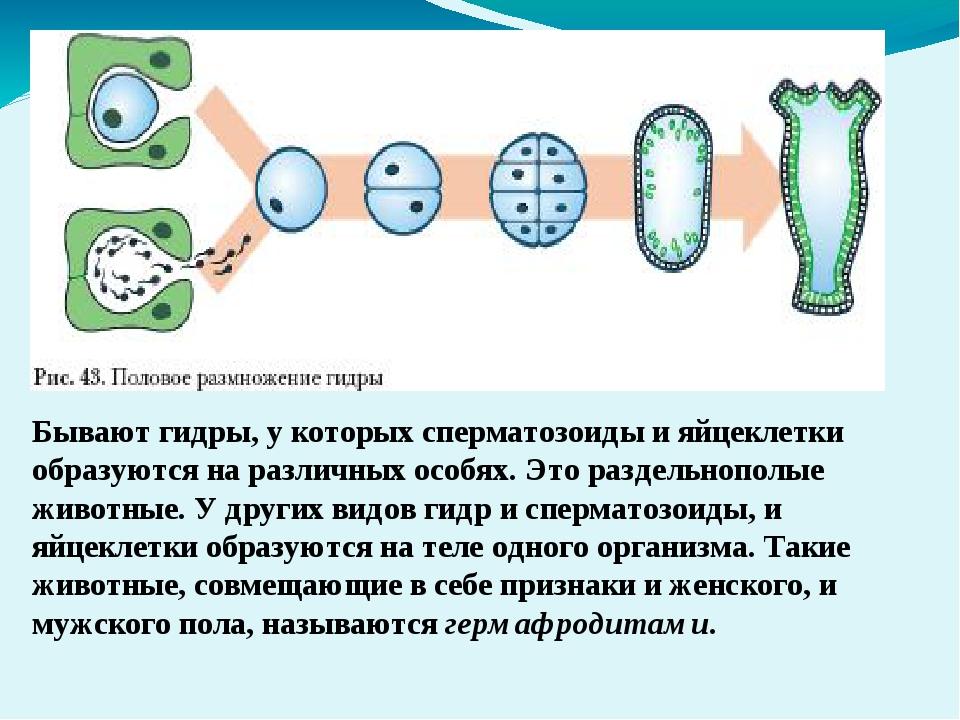 Бывают гидры, у которых сперматозоиды и яйцеклетки образуются на различных ос...