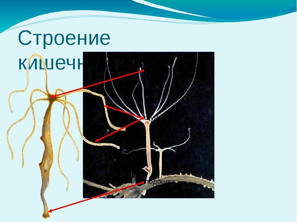 Строение кишечнополостных ротовое отверстие щупальца подошва Особенности орга...