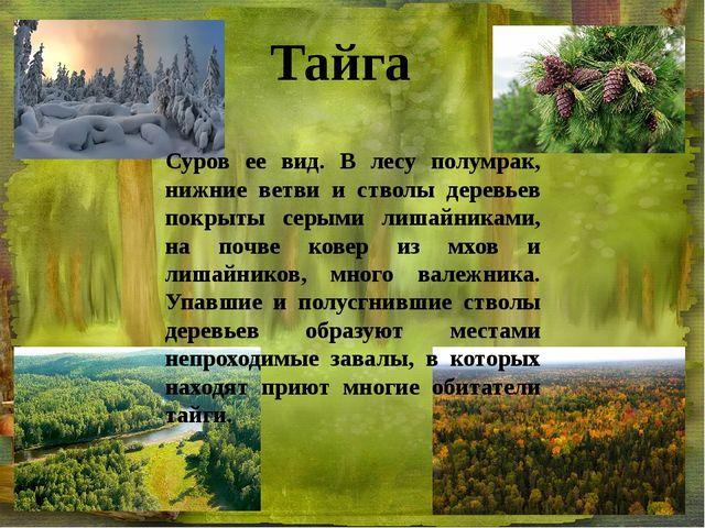 Суров ее вид. В лесу полумрак, нижние ветви и стволы деревьев покрыты серыми...