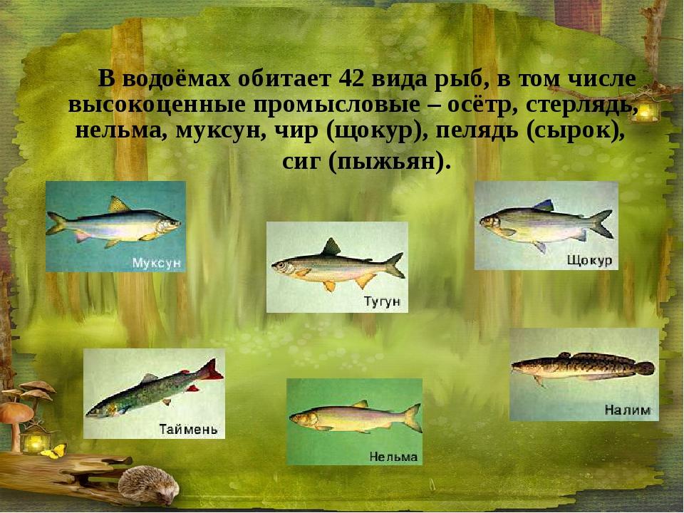 В водоёмах обитает 42 вида рыб, в том числе высокоценные промысловые – осётр,...