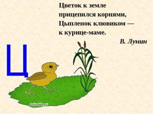 Цветок к земле прицепился корнями, Цыпленок клювиком — к курице-маме. В. Лунин