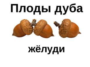 Плоды дуба жёлуди