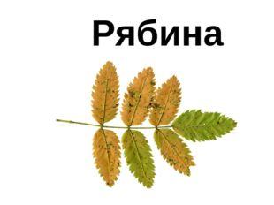 Рябина
