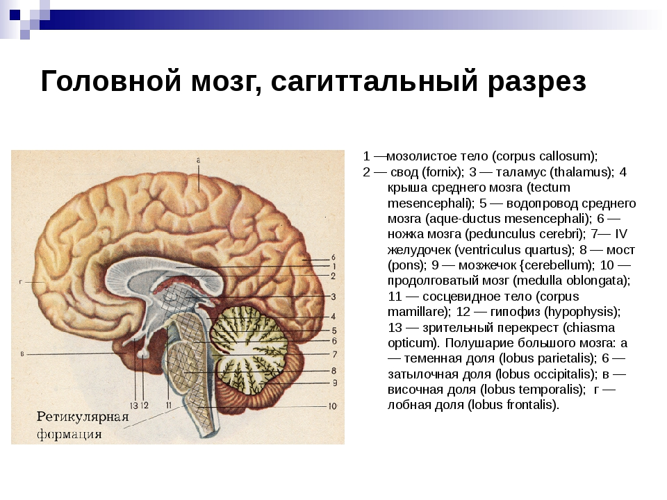 Головной мозг, сагиттальный разрез 1 —мозолистое тело (corpus callosum); 2 —...