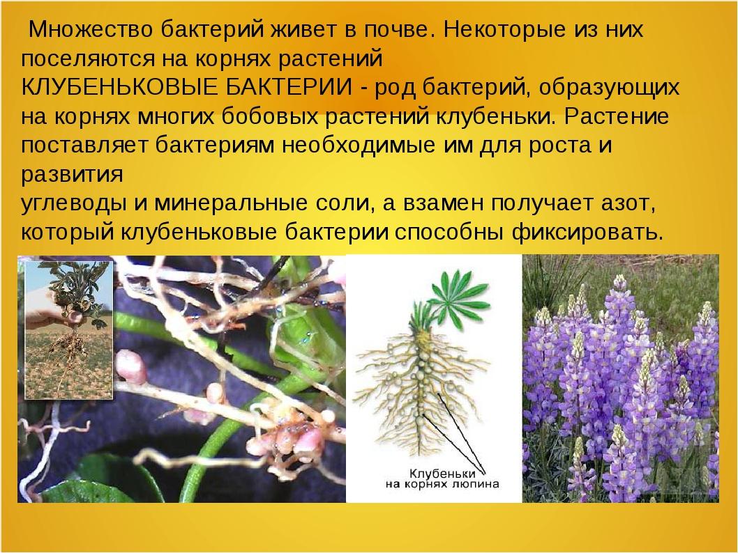 Множество бактерий живет в почве. Некоторые из них поселяются на корнях раст...