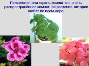 Пеларгония или герань комнатная, очень распространённое комнатное растение,