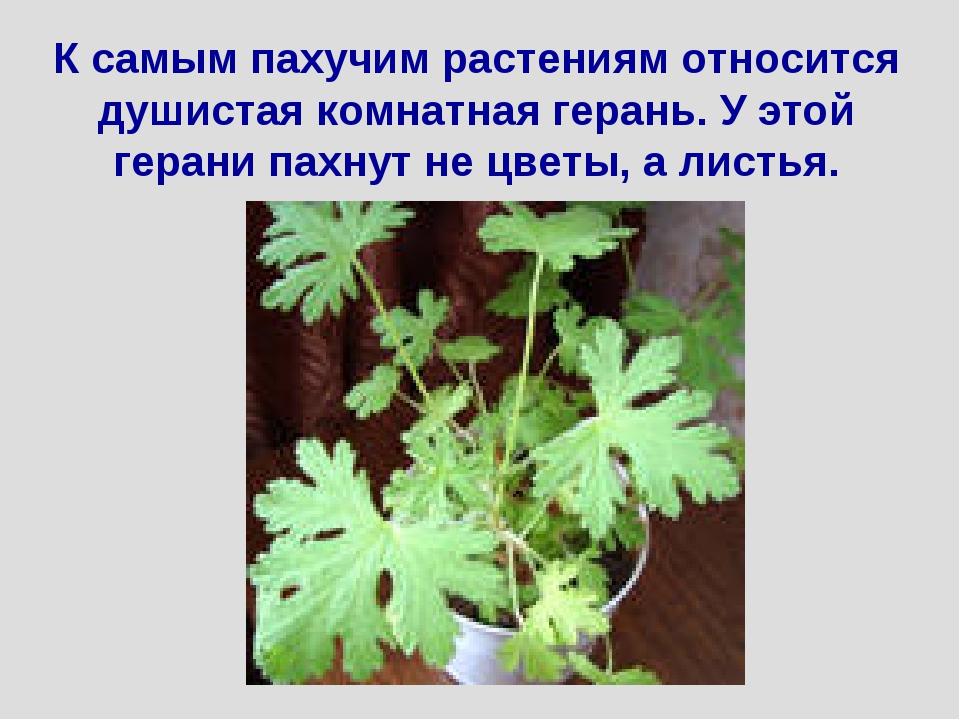 К самым пахучим растениям относится душистая комнатная герань. У этой герани...