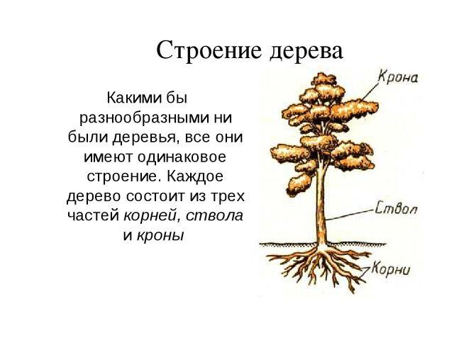 Строение дерева Какими бы разнообразными ни были деревья, все они имеют одина...
