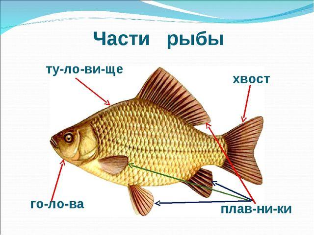 Части рыбы ту-ло-ви-ще го-ло-ва плав-ни-ки хвост