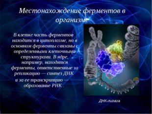 Местонахождение ферментов в организме В клетке часть ферментов находится в ци