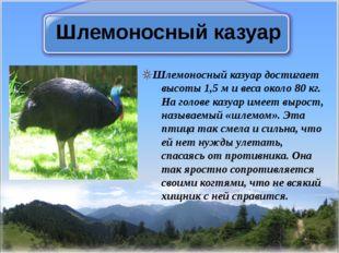 Шлемоносный казуар Шлемоносный казуар достигает высоты 1,5 м и веса около 80