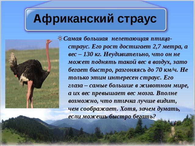 Африканский страус Самая большая нелетающая птица-страус. Его рост достигает...