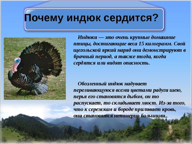 Почему индюк сердится? Индюки — это очень крупные домашние птицы, достигающие...