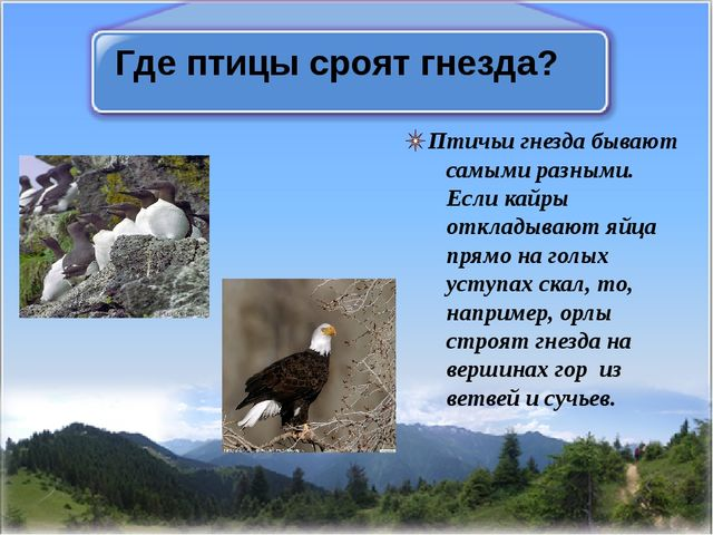 Где птицы сроят гнезда? Птичьи гнезда бывают самыми разными. Если кайры откла...