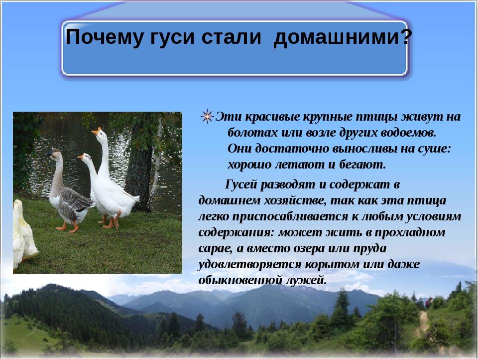Почему гуси стали домашними? Эти красивые крупные птицы живут на болотах или...