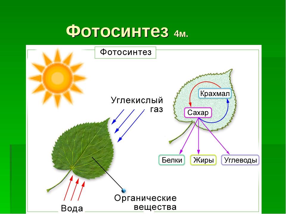 Фотосинтез 4м.