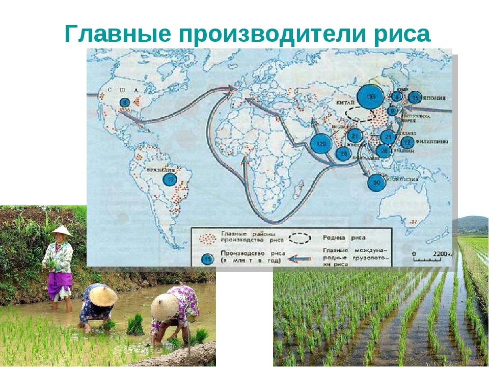 Главные производители риса
