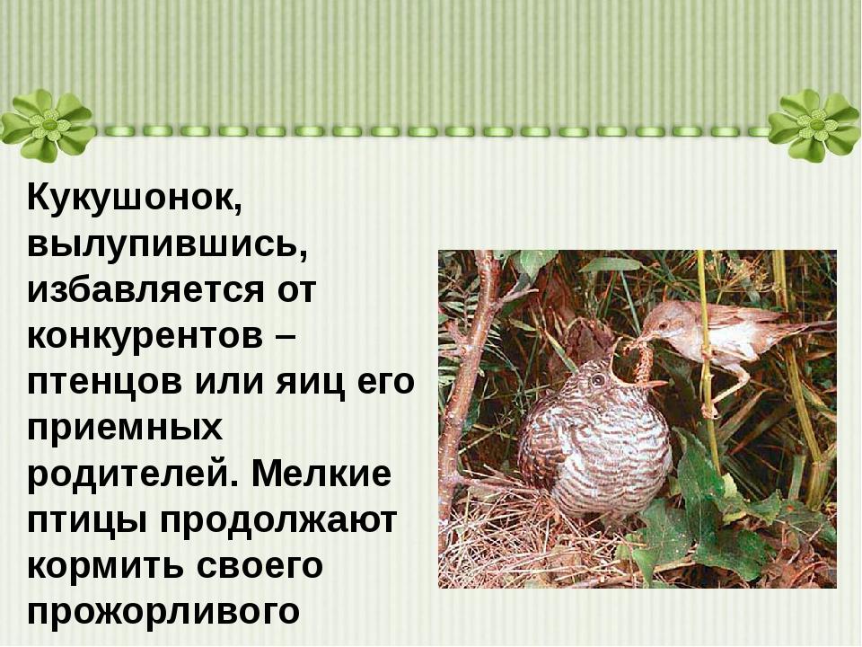 Кукушонок, вылупившись, избавляется от конкурентов – птенцов или яиц его при...