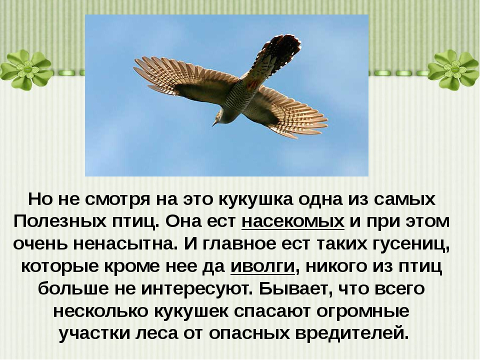 Но не смотря на этокукушкаодна из самых Полезных птиц. Она естнасекомыхи...