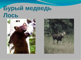 Бурый медведь Лось
