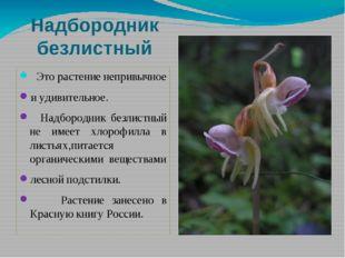Надбородник безлистный Это растение непривычное и удивительное. Надбородник б