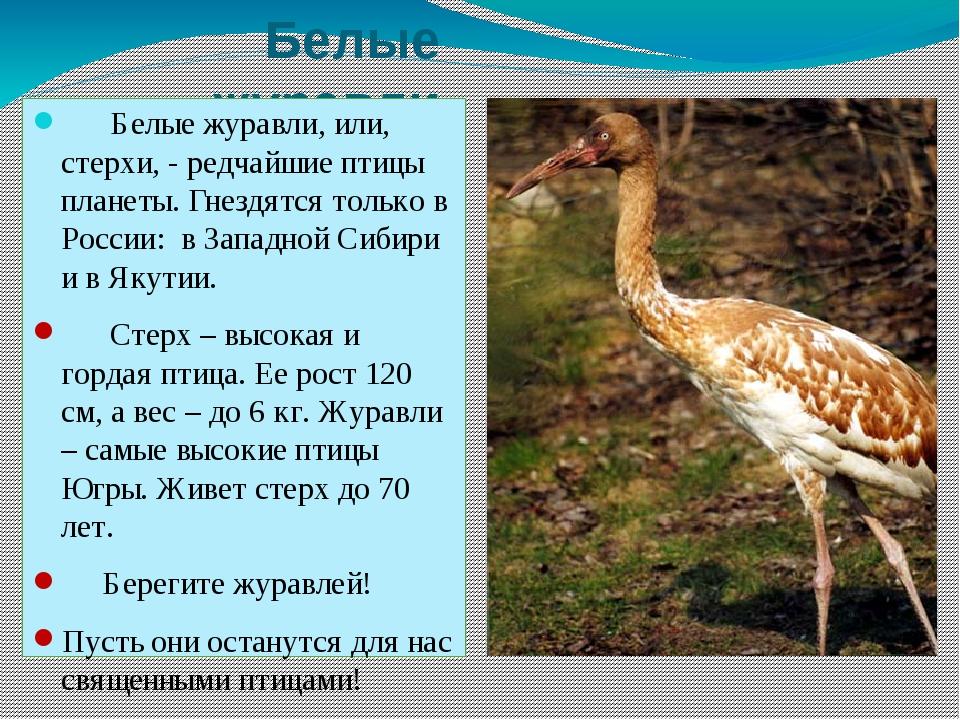 Белые журавли Белые журавли, или, стерхи, - редчайшие птицы планеты. Гнездятс...
