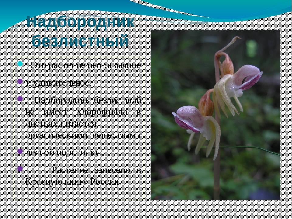 Надбородник безлистный Это растение непривычное и удивительное. Надбородник б...