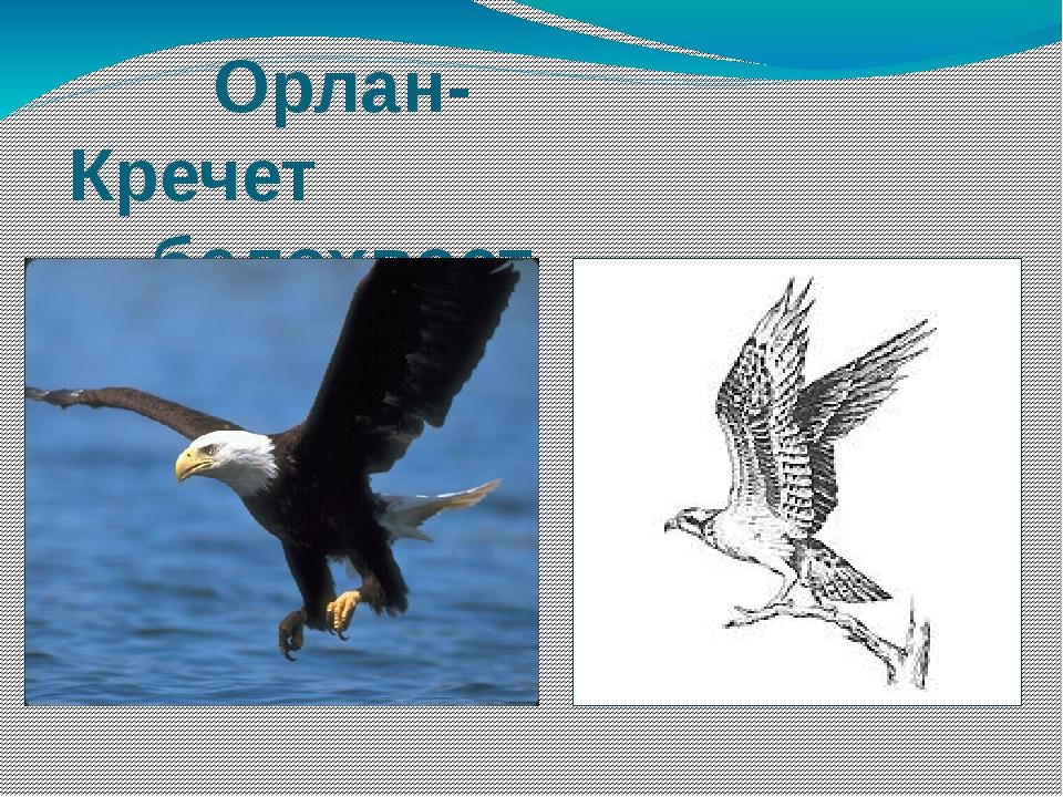 Орлан- Кречет белохвост