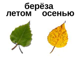 летом осенью берёза