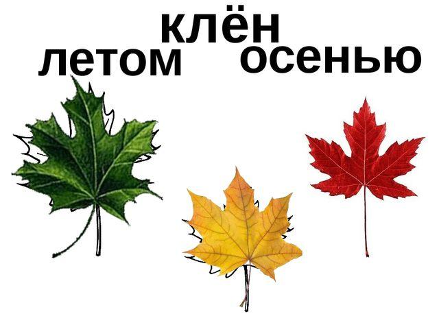 летом осенью клён