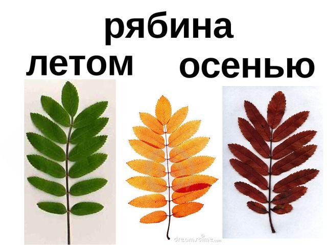 летом осенью рябина